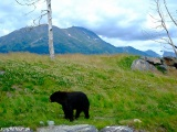 Medveď baribal...