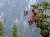 Jar v Himalájach je známa aj rozkvitnutými rododendrónmi...
