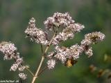 Motýľ na rozkvitnutej čerešni...