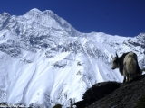 Annapurna-784