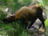 Takin - bhutánske národné zviera...