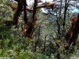 V horskom pralese II...