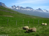 A ovečky vo východných fjordoch sa kľudne pasú...