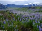 Zakvitnuté južné pobrežie Islandu...