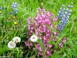 Vraj na Islande nie sú žiadne kvety...