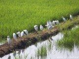 Okolie Kochinu - vtáčia siesta na rozhraní ryžových polia a vôd Backwaters...