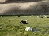 Stáda jakov na pastvinách Ladakhu...