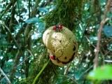 endemicky chrobak