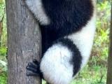 lemur,rezervacia Vakona