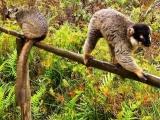 lemury , Vakona