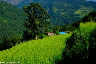 Ryžové políčka v údolí Aruh Khola...