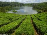 Čajové plantáže v Bois Cheri...