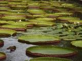 Botanická záhrada v Pamplemousses...