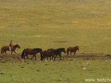 Zaháňanie konského stáda...