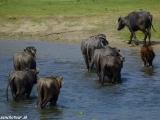 Vodné byvoly brodia rieku Rhapti...