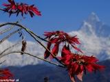 Machapuchre - Rybí chvost 6993 m.n.m. posvätný kopec Nepálu...